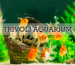 TRIVOLI AQUARIUM-trivoli aquarium narahenpita-narahenpita aquarium-srilanka aquarium-hawlock town aquarium-kirulapana aquarium-aquarium in narahenpita-pet shops in srilanka-trivoli aquarium srilanka-fish sellers in colombo-narahenpita-dealers of fish sale narahenpita-fish medicine and vitamins shop-all kind of fish tanks- all aquarium-nawala road aquarium-nawala road-narahenpita-colombo 5-srilanka.